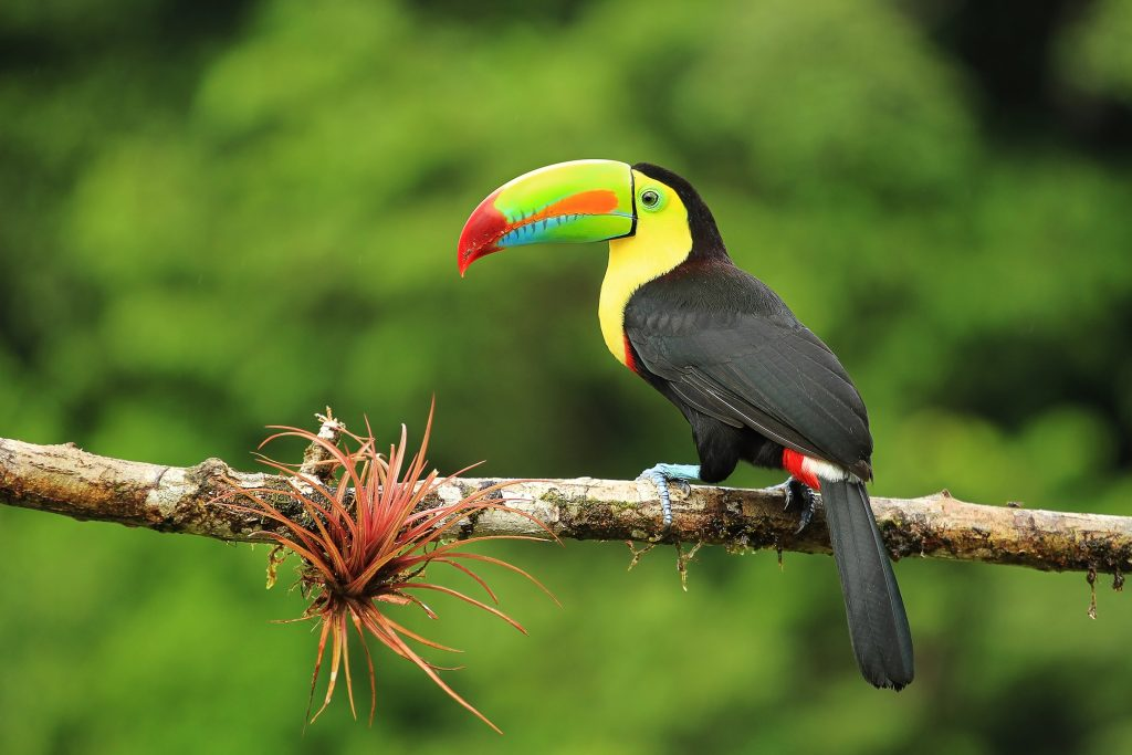 Toucan at Costa Rica